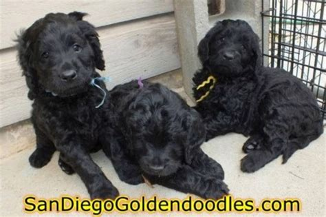 goldendoodle puppies san diego bernedoodle puppies in san diego southern california
