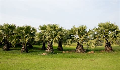 commercial palm trees services palm tree