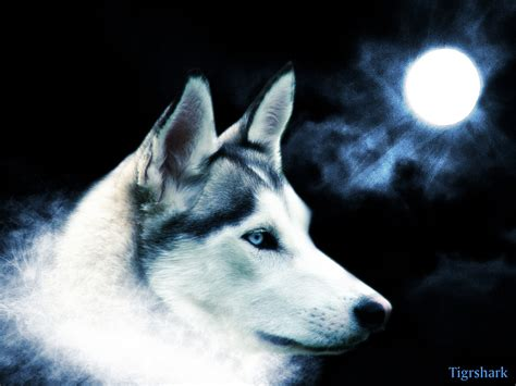 cool wallpaper of wolves wolf wallpapers high definition wallpapers cool nature