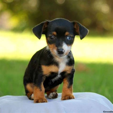 dorkie puppies for sale dorkie puppies for sale in image mag