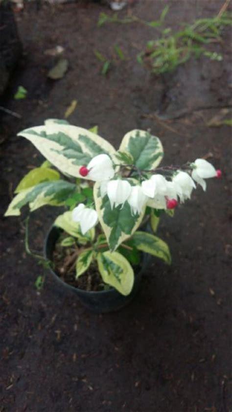 Tanaman Hias Variegata tanaman nona makan sirih putih variegata bibitbunga