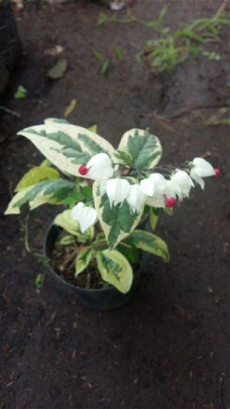 Tanaman Bunga Air Mata Pengantin Putih Tinggi 60 80 Cm tanaman nona makan sirih putih variegata bibitbunga