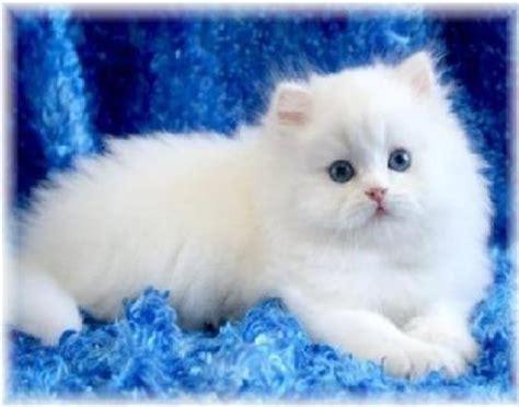 nomi persiani femminili imagini pisici