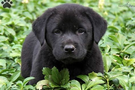 lab chow mix puppies for sale mixed other puppy for sale near lancaster pennsylvania 40d0a74c 1641