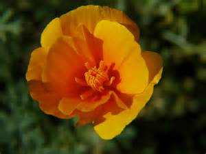 california poppy california poppy auntie dogma s garden spot