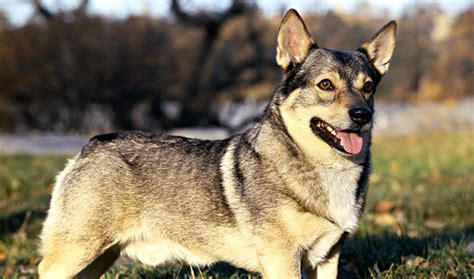 swedish vallhund breed information