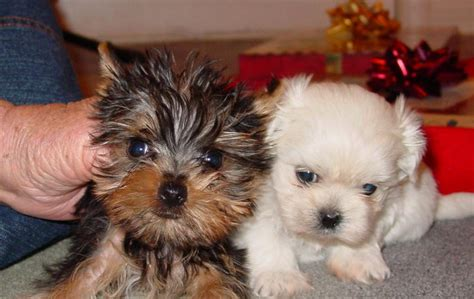 yorkie and maltese manly peanut butter fingers