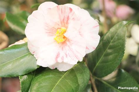 camellia japonica flower how to plant care for different varieties plantopedia