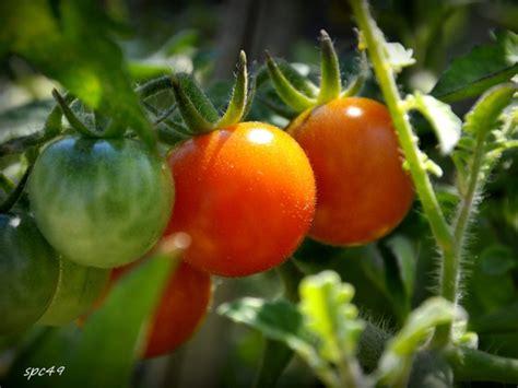 Merveilleux Tomates Cerises En Jardiniere #3: Tomates-grappe.jpg