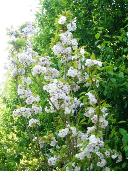 cherry tree b b blackpool blushing flowering cherry trees for sale view now