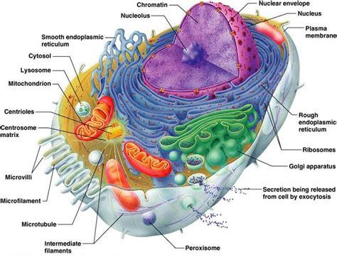 anatomy physiology  exam   cell anatomy