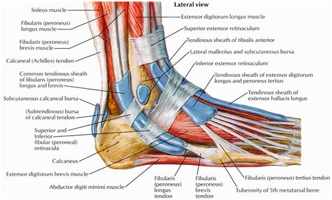 foot diagram muscles that lift the arches of the