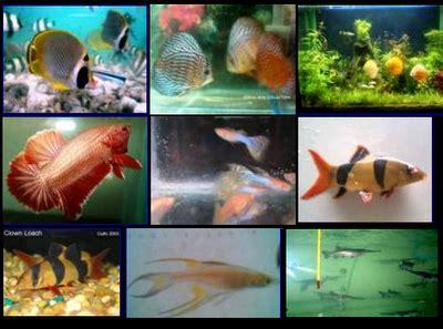 Lu Hias Kecil Warna Warni gambar 5 ikan hias kecil indah platy memiliki jenis varian warna di rebanas rebanas