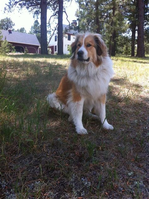 pyrenees mix puppies great pyrenees bernese mountain mix animals beautiful mountain
