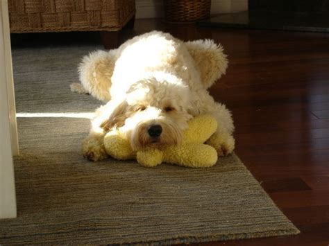mini goldendoodles southern california our photo gallery tiny teacup goldendoodles