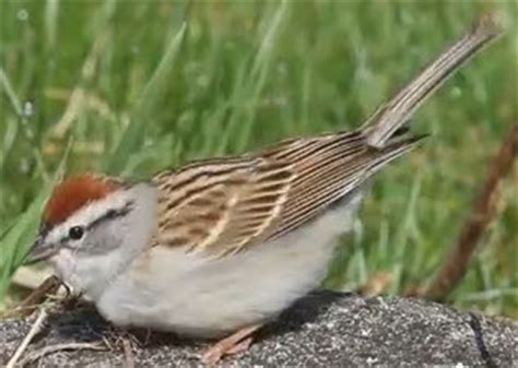 wild birds unlimited chipping sparrow juvenile with adult