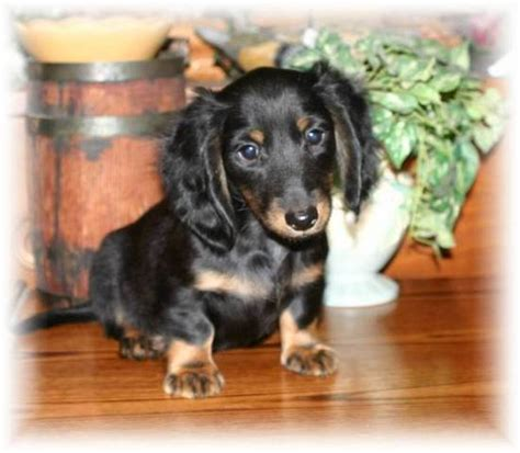 dachshund puppies for adoption tiny miniature dachshund rescue breeds picture