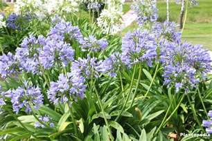 the lily of the nile flower agapanthus plant how to