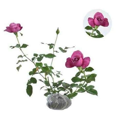 Beli Bibit Daun Ungu jual tanaman mawar ungu wangi bibit