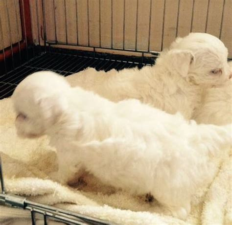Do Maltese Dogs Shed Hair by Dogsindia Maltese Sanrams Kennel