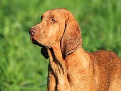 redbone coonhound information characteristics facts names