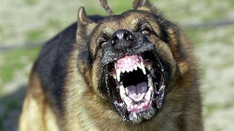 loud barking large barking sfx aggressive loud dogs 1 hour high quality sound effects of canine
