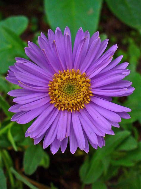 50 Best Full Grown Aster Flowers Plant Gallery Segerios Aster Flower Gallery