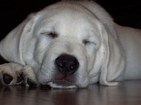 yellow lab puppies for sale in sc quelques liens utiles