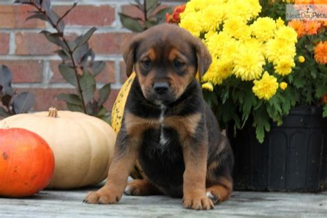 brown rottweiler dogs and puppies for sale and adoption oodle marketplace