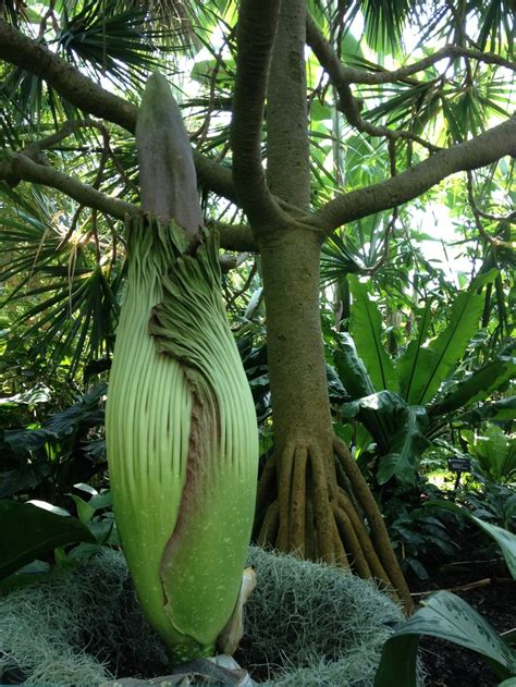 The Unique Titan Arum Or The Corpse Flower Is A Large Corpse Flower Botanical Garden