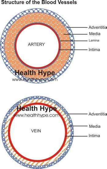 artery diagram blood vessels artery vein structure function