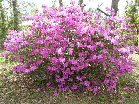 azalea bush colors leis a of balance