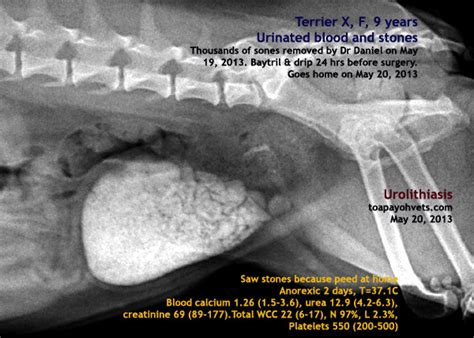 bladder stones surgery cost canine veterinary surgery anaesthesiaveterinary surgery anaesthesia singapore toa
