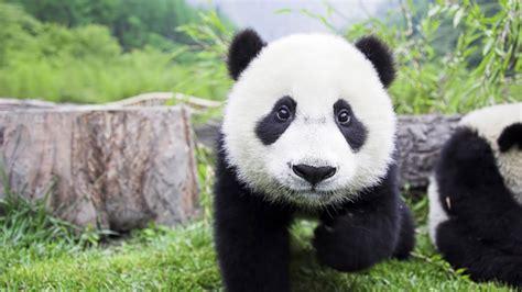 yavru panda resim wallpaper guezel resimler manzara