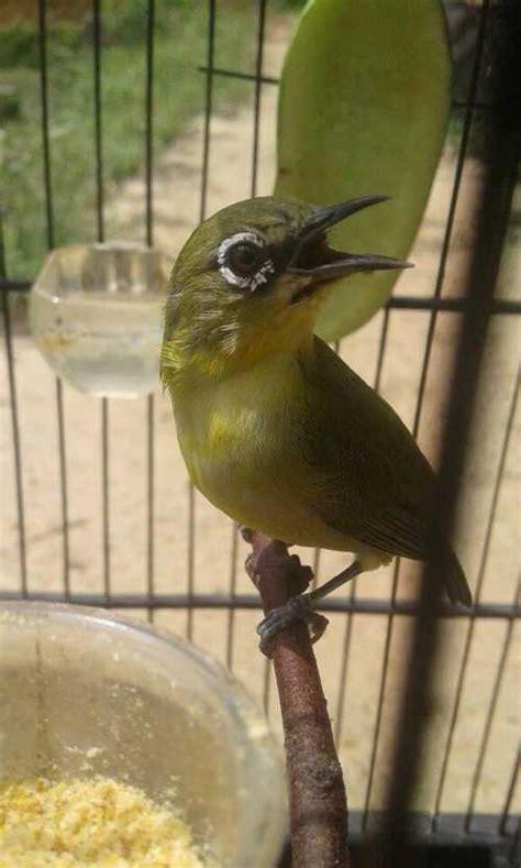 Makanan Burung Pleci Aikguan suara burung pleci mp3 gacor ngalas ngerol