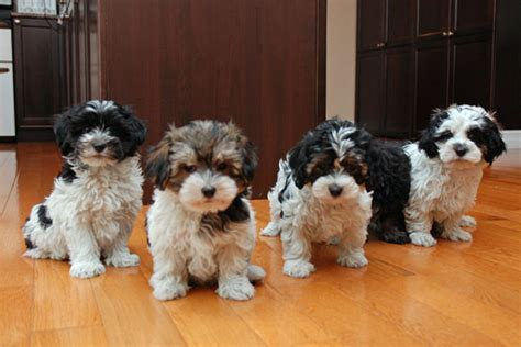 free havanese puppies for sale havanese sale ireland havanese puppies buy buy havanese breeders havanese dogs
