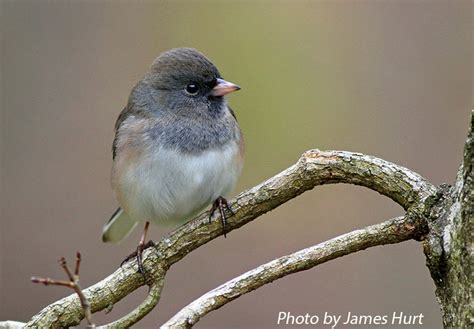 tennessee watchable wildlife dark eyed junco habitat 1