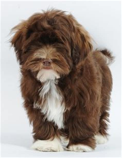best havanese names 1000 ideas about puppy names on puppy names boy puppy names