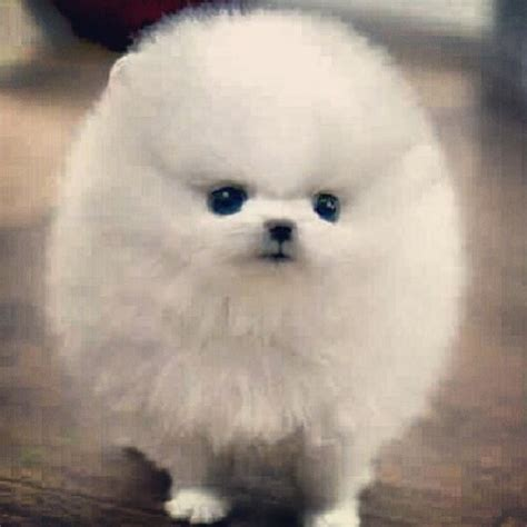 half pomeranian half japanese spitz 133 best images about puppies on puppys micro teacup pomeranian and