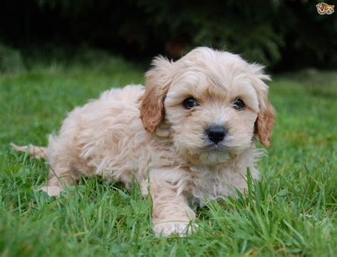 cavapoo puppies alabama cavapoo breed information facts photos care pets4homes winnie