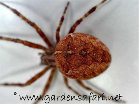 Garden Spider Brown Gardensafari Common European Garden Spider With Many