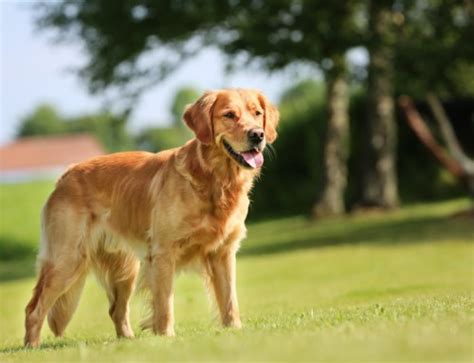 golden retriever kurzhaar dackel bellos de