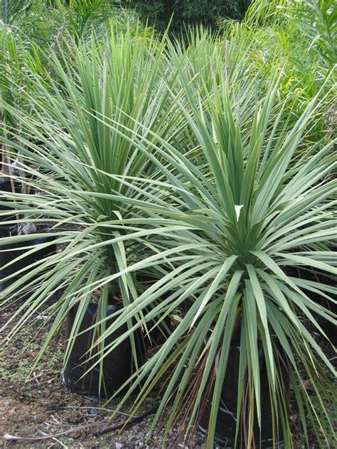 cordyline australis cabbage palm simon  plantman