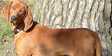 Coonhound Shedding by Redbone Coonhound American Dogs Doggyzoo