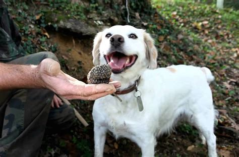 how to your to hunt truffles where to take your for truffles this winter melbourne the list