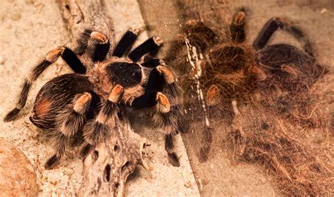 tarantulas as pets what makes the tarantula a great pet