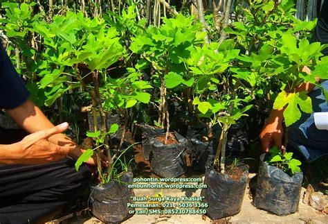 Jual Bibit Pohon Buah Tin Indonesia galeri pohon buah tin di indonesia 171 budidaya buah tin di