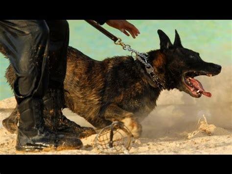 how to a german shepherd to attack attack feroce german shepherd هجوم كلب псом
