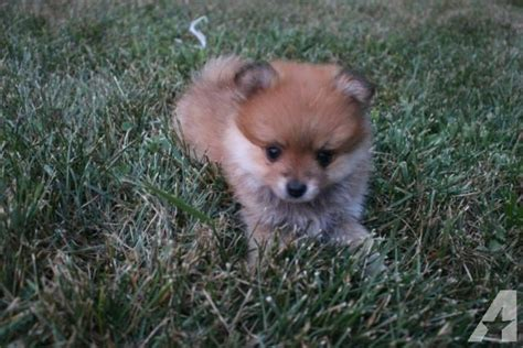 pomeranian adoption nyc pomeranian puppies for adoption 11 weeks for sale in newburgh new york