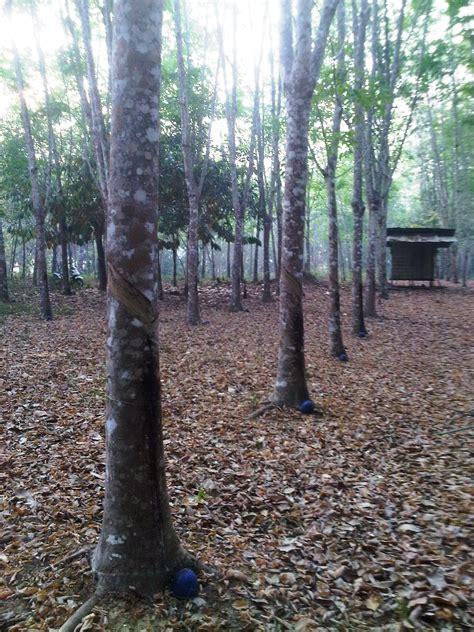 Karet Getah Hari Ini Tak Berkategori Desa Garunggung Laman 2